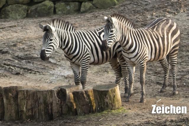 Zebra-Zoo-Skulptur-DIY